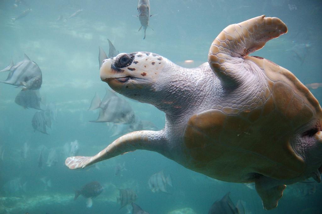 1280px-Loggerhead_sea_turtle